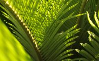 Picture of green palm fronds.